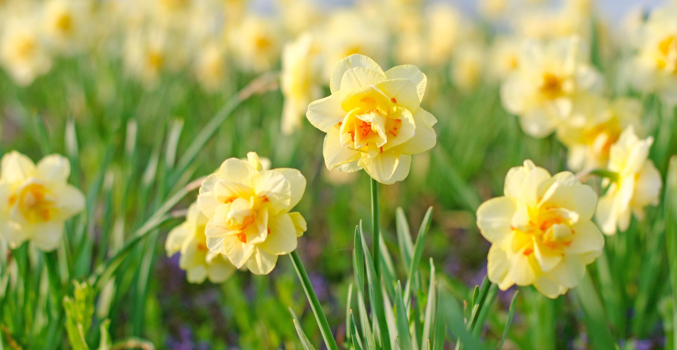 voorjaars foto met narcissen